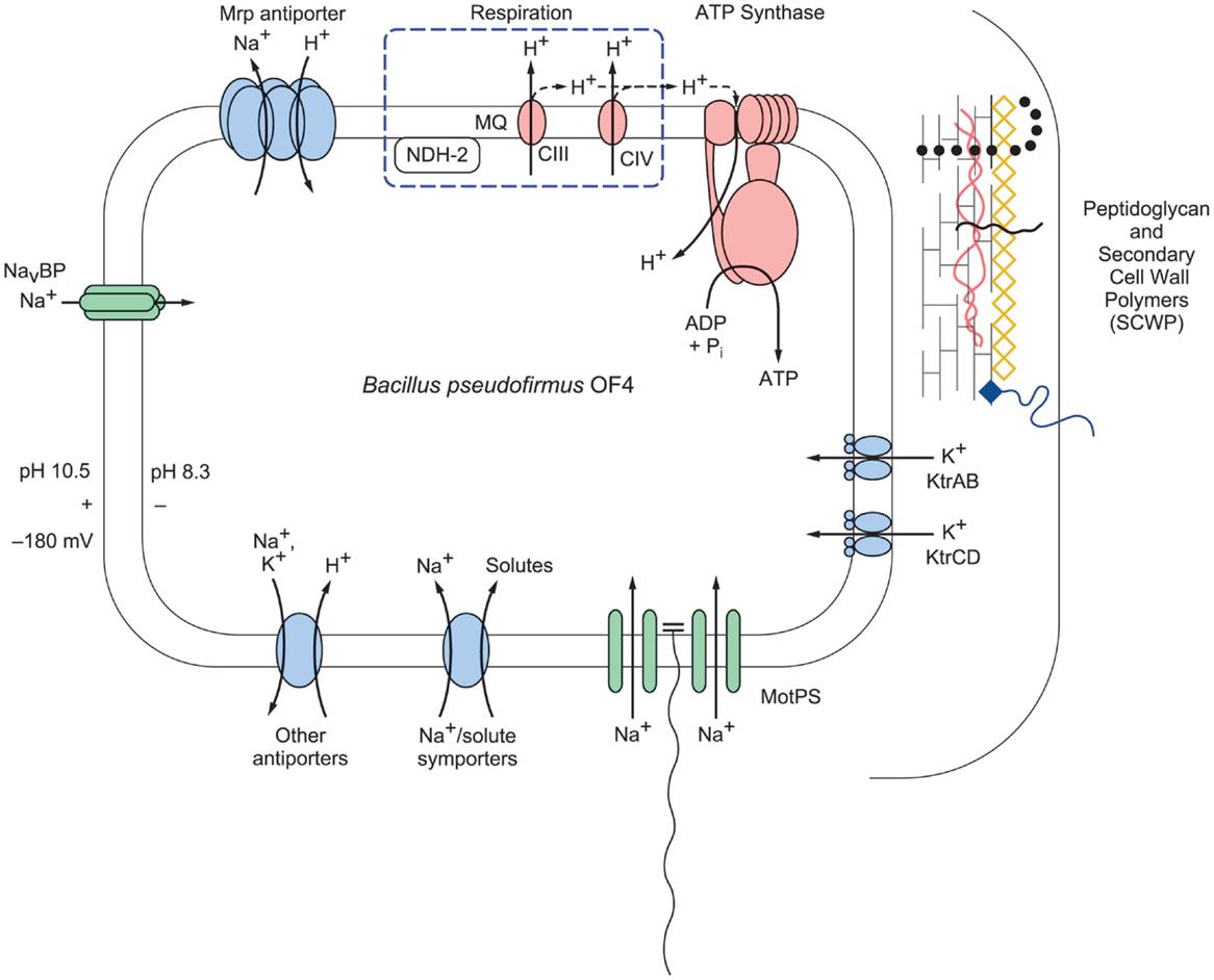 human bioenergetics and its applications
